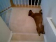Lazy Dog Slides Down Stairs