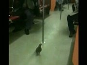 Pigeon Riding The Subway
