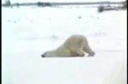 Polar bear hates Monday