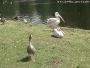 Pelican Eats Pigeon