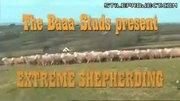 led sheep wrangling