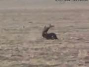 Golden Eagle Vs. Deer