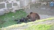 Bear Attacks Mentally Handicapped Man In Bern