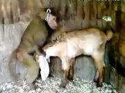 Monkey Tries To Rape A Goat - Ass and mouth