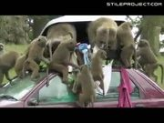 Baboons Figure Out How To Open Car Roof Boxes