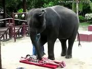 Elephant gives a back massage