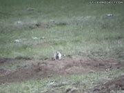 Prairie Dog Hunting With Sniper Rifle - Maximum Carnage