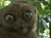 Intense Lemur
