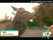 Elk Tries To Fuck Fake Llama In The Ass