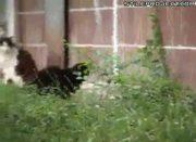 huge mutant rat attacks cats