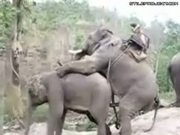 Horny Elephants