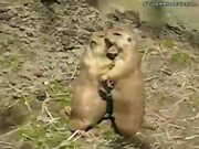 Prairie Dog Make-Out Session