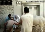 how not to slaughter a cow LOL